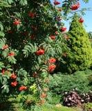 Eberesche im wundervollen Sommergarten lizenzfreie stockfotografie