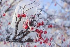 Eberesche mit den roten Beeren bedeckt mit Reif Lizenzfreie Stockfotos