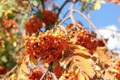 Ebereschebaum im Herbst Schöner Herbstjahreszeithintergrund Lizenzfreies Stockbild