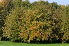 Ebereschebaum im Hintergrund Stockfotografie