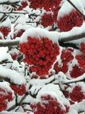 Ebereschebaum unter Schnee Stockbilder