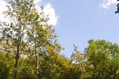 Ebereschenbäume mit seinen orange Bällen in den Pyrenäen Stockfotografie
