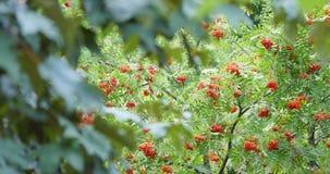 Ebereschenbaum mit Ebereschenbeere stock video