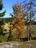 Ebereschenbeere, (Sorbus aucuparia) Lizenzfreie Stockbilder
