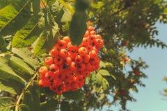 Ebereschenbeeren, Eberesche Sorbusbaum mit reifer Beere stockfotografie