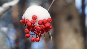 Ebereschenbeeren im Schnee, der vom Wind unter Bäumen rüttelt stock footage