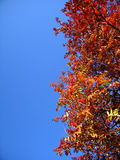 Ebereschenblätter des Herbstes Stockfotos