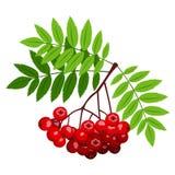 Ebereschenniederlassung mit Beeren und Blättern. Lizenzfreie Stockbilder