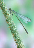 Ebneri Ischnura λιβελλουλών (damselfly) elegans (FEM στοκ εικόνα με δικαίωμα ελεύθερης χρήσης