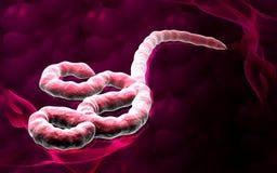 Ebola Virus Stockbilder