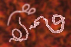 Ebola virus, hemorrhagic fever virus Stock Image