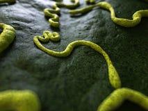 The ebola virus Royalty Free Stock Photo