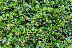 Ebony bonsai tree Stock Photo