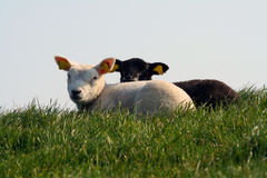 Ebony and ivory. A white and a black lamb lying in the grass Royalty Free Stock Photos