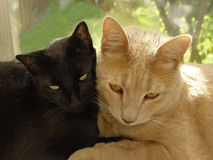 Ebony and Ivory. A black cat and a cream colored cat taking it easy stock photo