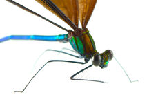 Ebony Jewelwing Stock Photography