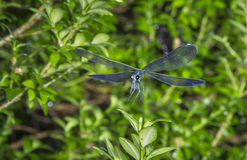 Ebony jewelwing (Calopterix maculate) Royalty Free Stock Images