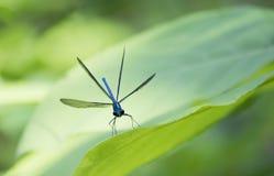 Ebony Jewelwing Damselfly με τα φτερά που διαδίδονται στοκ φωτογραφία