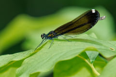 Ebony Jewelwing Damselfly photographie stock libre de droits