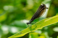 Ebony Jewelwing Damselfly images libres de droits