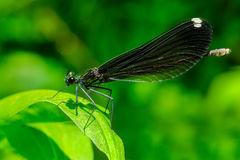 Ebony Jewelwing Damselfly photographie stock