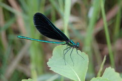 Ebony Jewelwing Damselfly Royalty Free Stock Photos
