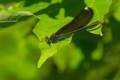 Ebony Jewelwing Damselfly - Calopteryx maculata. Female Ebony Jewelwing Damselfly resting on a leaf. Rouge National Urban Park, Toronto, Ontario, Canada Stock Photography
