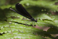Ebony jewelwing damselfly - Calopteryx maculata Royalty Free Stock Photography