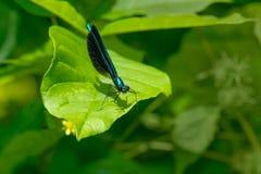 Ebony Jewelwing Damselfly - Calopteryx maculata. Male Ebony Jewelwing Damselfly perched on a leaf. Also known as the Black-winged Damselfly. Edwards Gardens royalty free stock photos