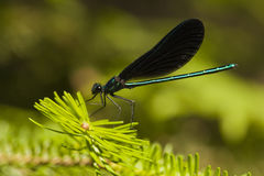 Ebony jewelwing damselfly - Calopteryx maculata Stock Images
