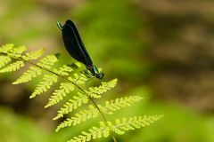 Ebony Jewelwing Damselfly - Calopteryx maculata. Male Ebony Jewelwing Damselfly perched on a green leaf. Also known as the Black-winged Damselfly. Scanlon Creek royalty free stock image