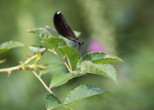 Ebony Jewelwing Damselfly With Leaves And Purple Flower stock photos
