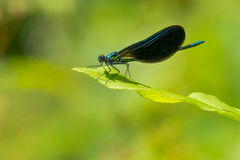 Ebony Jewelwing Damselfly Stock Photos