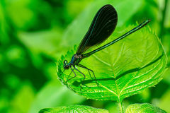 Ebony Jewelwing Damselfly - Calopteryx maculata. Male Ebony Jewelwing Damselfly perched on a leaf. Also known as the Black-winged Damselfly. Rouge National Urban royalty free stock photos