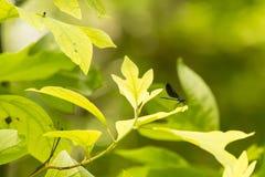 Ebony Jewelwing Damselfly masculin sur les feuilles jaune pâle Photos libres de droits