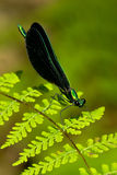 Ebony Jewelwing Damselfly Royalty Free Stock Image