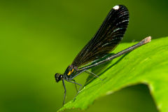 Ebony Jewelwing Damselfly Stock Images