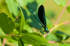 Ebony Jewelwing Stock Images