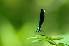 Ebony Jewelwing Stock Photos