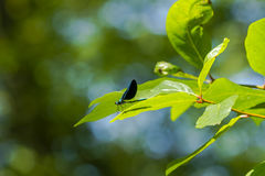 Ebony Jewelwing masculin sur la feuille photo stock