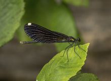 Ebony Jewelwing sur la feuille photos stock