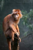 Ebony langur Stock Photography