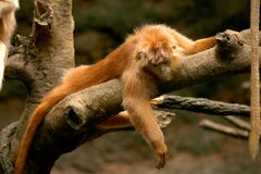 Ebony Langur. The Ebony langur lives in social groups of around seven individuals and feeds on leaves, fruit, flowers, flower buds, and insect larvae Stock Image