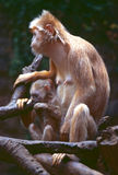 Ebony Langur. With Infant royalty free stock photography