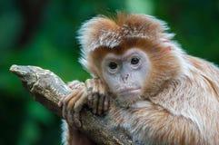Ebony Langur-Affehaltungen für ein Bild Stockfotos