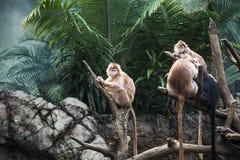 Ebony Langur in Bronx-Zoo stockfoto