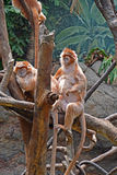Ebony Langur family Royalty Free Stock Photo