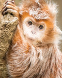 Ebony Langur IV photo stock