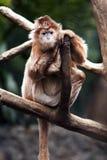 Ebony Langur monkey. Cute Indonesian endangered Ebony Langur monkey ape sitting on tree branch Stock Images