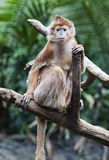 Ebony Langur Monkey Stock Photo